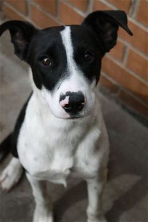 haired border collie puppies border collie american pit bull terrier mix i think i finally found what of