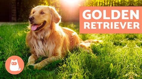 golden retriever caracteristicas golden retriever caracter 237 sticas adiestramiento y cuidados