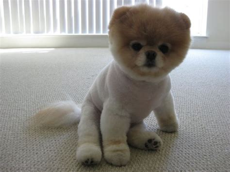 pomeranian boo puppy white pomeranian puppy so breeds picture