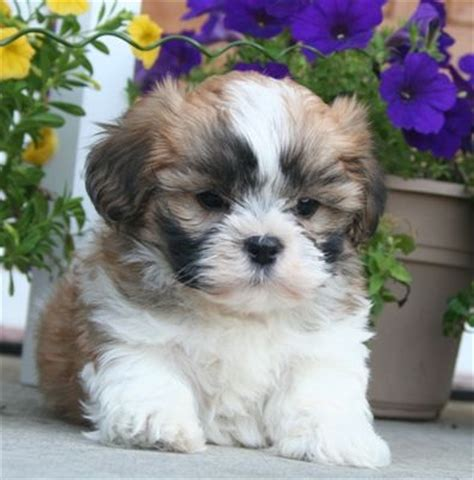 shih tzu maltese poodle puppies mal shi puppy a few of my favorite things puppys and 4 years
