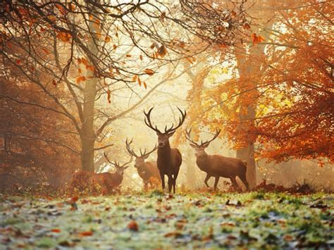 Deer Hunting Wall Murals four red deer in the autumn forest print by alex saberi