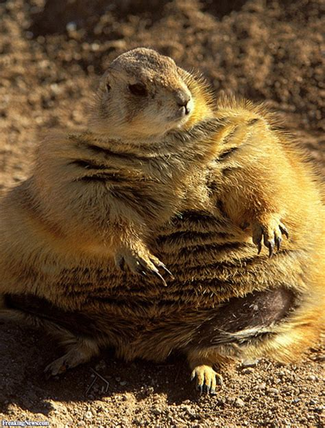 pictures of prairie dogs prairie pictures