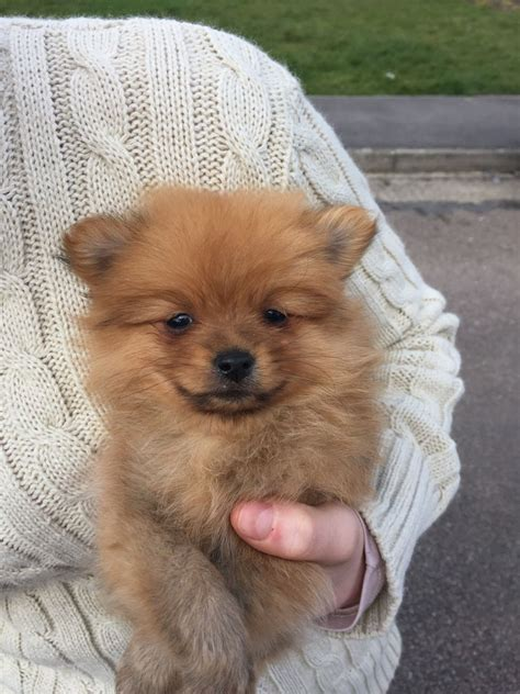 puppies 1st miniature pomeranian puppies for sale 1st vaccine wickford essex pets4homes