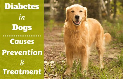 diabetes in dogs supplies and care breeds picture
