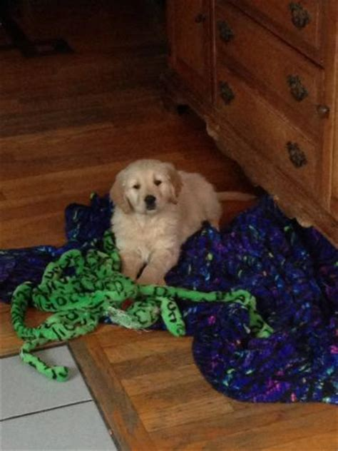 golden retriever breeders ma massachusetts for sale puppies for sale