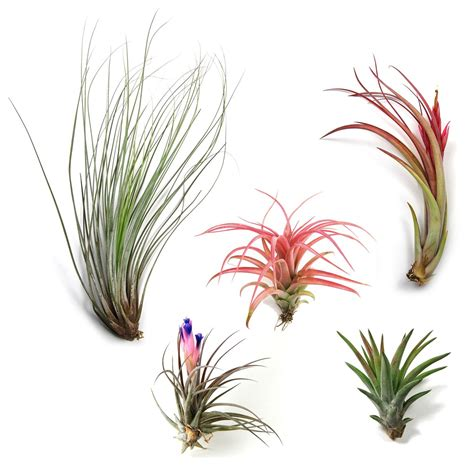 air plants air plant supply co visit us to buy quality air plants
