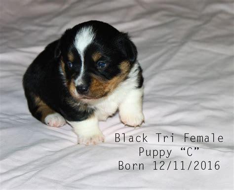 corgi puppies for sale in wisconsin 25 best ideas about corgi puppies for sale on corgi dogs for sale corgis