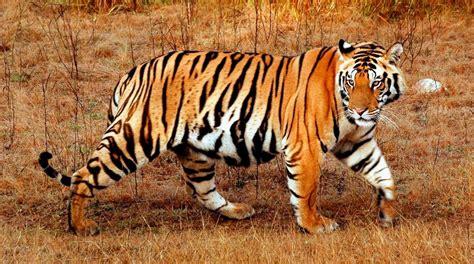minicuentos de tigres y fotos de tigres