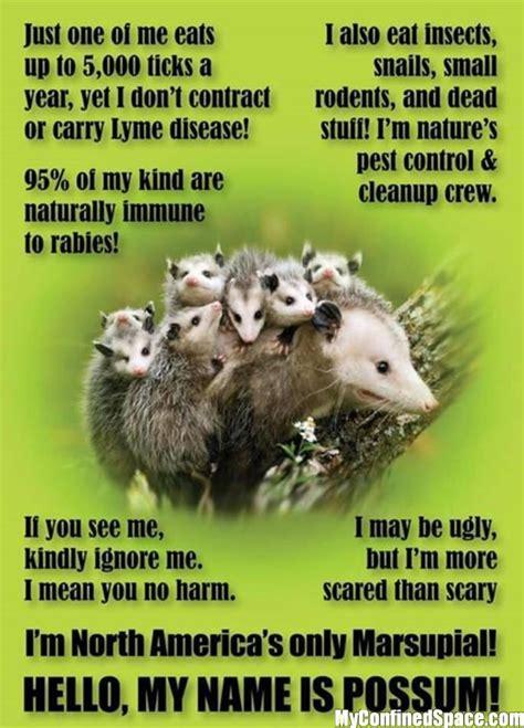 Possum Memes - possum facts myconfinedspace