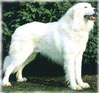 akbash dog care  lot pet supply