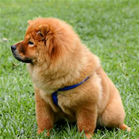 Do Chows Shed by Chow Chow Breed Guide