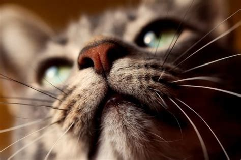cat nose whiskers fascinating facts about cat whiskers the conscious cat