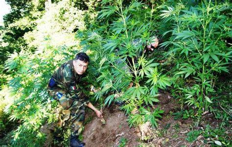 canapé style montagne piante di marijuana nascoste tra i boschi di montoro