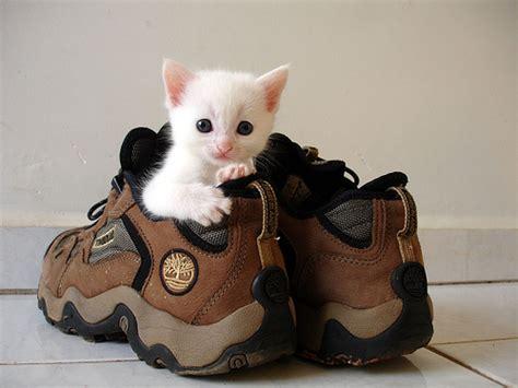 funny cat in shoes kitten in shoe love meow