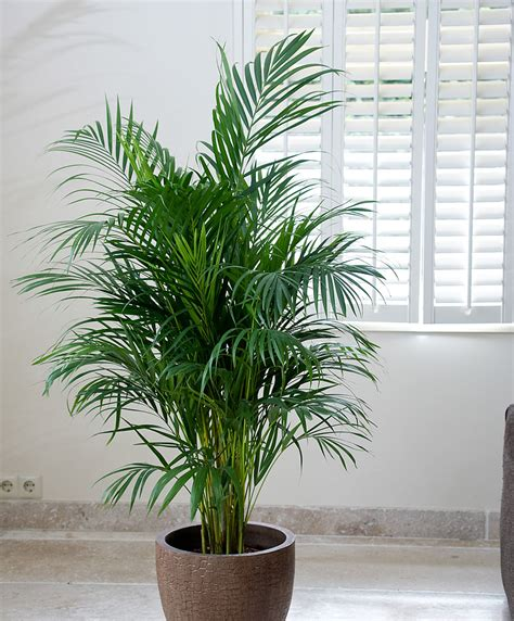 great indoor plants areca palm tree for adding moisture in the air during dry