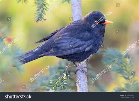 blackbird eating red berries stock photo 280615322