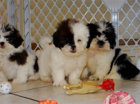 puppies for sale sc malti tzu puppies dogs for sale in columbia south carolina sc mount pleasant