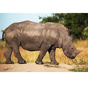 South African Rhino  Free Jigsaw Puzzles Online