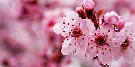 gambar bunga sakura  jepang ayeeycom