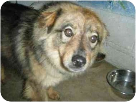 australian shepherd pomeranian mix for adoption adopt a pet sit stay we ll be ready for you in just a bit