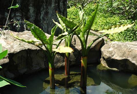 tanaman air hias  cantik  pemanis kolam ikan