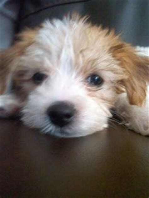 yorkie bichon mix for sale bichon frise shih tzu mix puppy for sale in st louis missouri seth tzu fur