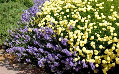 erika pflanze erika zypressenkraut pflanze santolina ericoides