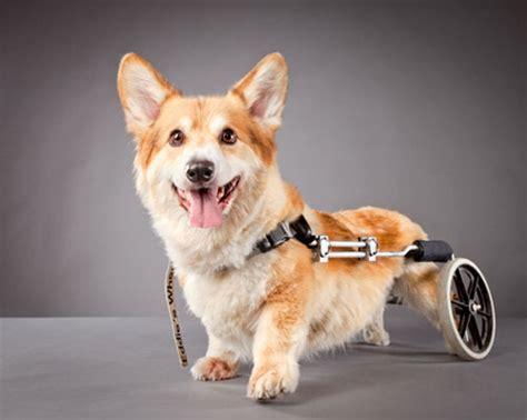 handicap dogs carli davidson s disabled pets milk