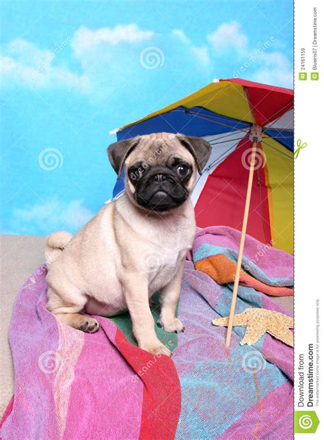 pug at the pug at the royalty free stock images image 24161159