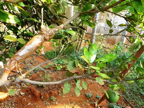 propagation of fruit bearing trees by air layering - Propagating Fruit Trees
