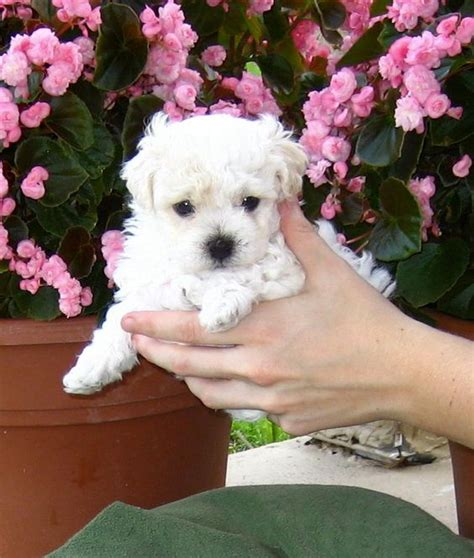 free puppies in jacksonville fl yorkie poo puppies jacksonville florida breeds picture