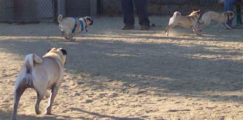 pug chasing hug pug puppy with roy calypso loki and the hug pug