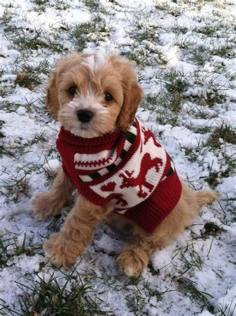 labradoodle christmas jumper sweater max the cockapoo max the puppy the o jays