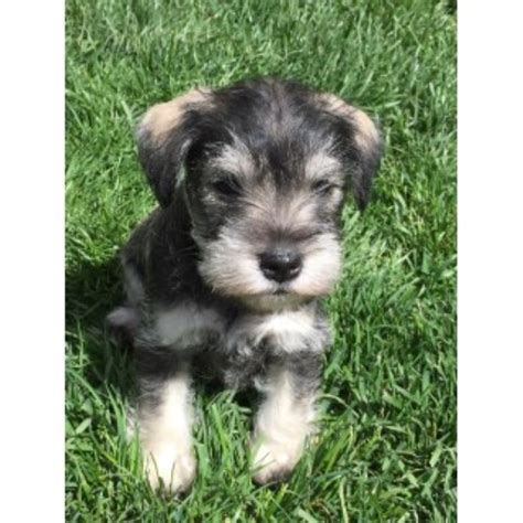 schnauzer puppies for adoption teacup and miniature schnauzer puppies for sale page