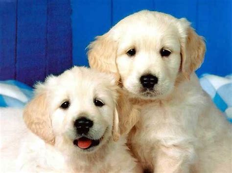 puppy facts and information information about dogs dogs driverlayer search engine
