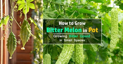 how to plant a vegetable garden in pots how to grow bitter melon growing bitter gourd in pots