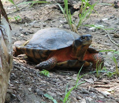 pa fish and boat species wood turtle wikipedia