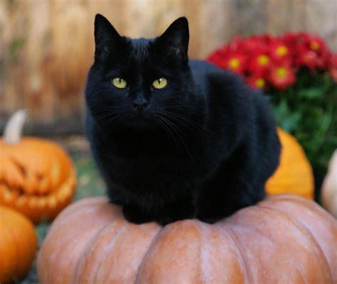 imagenes en negro de gatos gatos negros mundogatos com