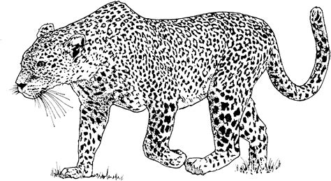 Free Leopard Coloring Pages Leopard Coloring Page