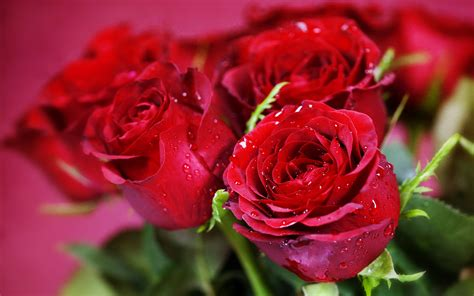 best flower roses valentine day best gift flowers hd wallpaper new
