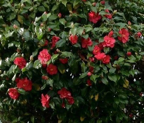 large shrub pink flowers of like - Shrub With Like Flowers