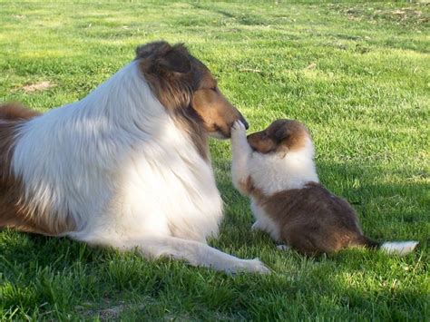 collie puppies for sale 25 best ideas about collies for sale on collie puppies collie and