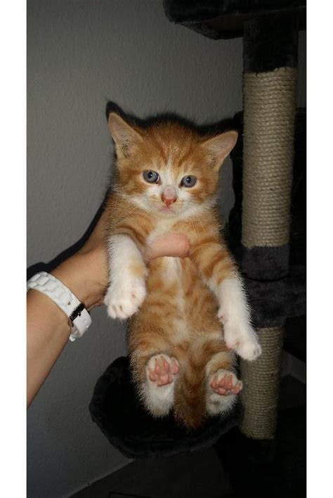 katzenbabys suchen ein zuhause kittenauffangstation katzenbabys suchen ein sch 246 nes