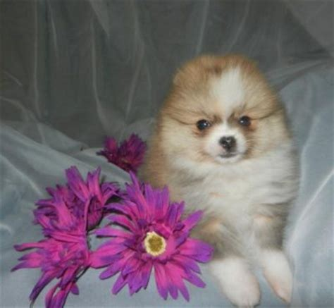 pomeranian puppies for sale winnipeg pomeranian puppies available