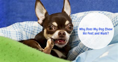 why do dogs chew thedogtrainingsecret