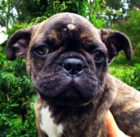 boston terrier x pug for sale boston terrier x pug cottage canines australia