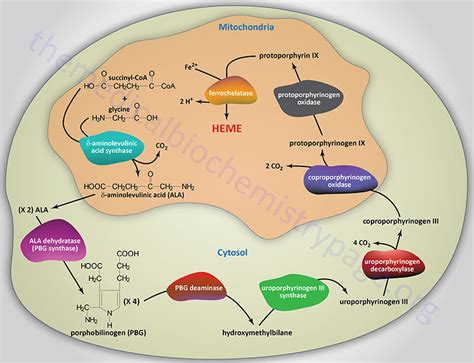 what metabolic by product from hemoglobin colors the urine yellow porphyrin and heme synthesis and bilirubin metabolism