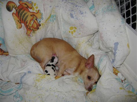 newborn chihuahua puppies the gallery for gt newborn teacup chihuahua puppies