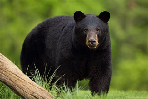 big black bear canon ef 200 400mm l is lens meets big bad black bear