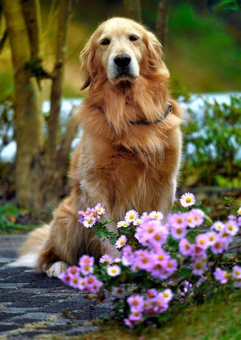 most common golden retriever names 1000 ideas about golden retriever puppies on
